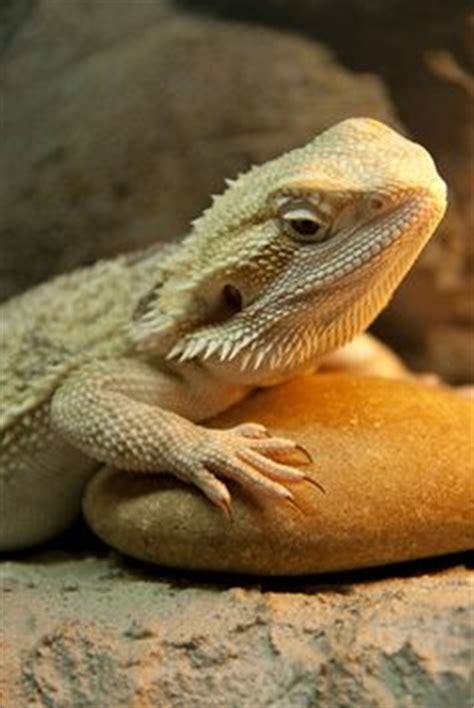 Heat L For Bearded Dragons by Bearded And Faces On