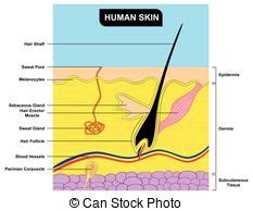 human skin layer vector cross section stock vector 520713712 istock volcano cross section diagram including all parts magma chamber reservoir rock layers of earth