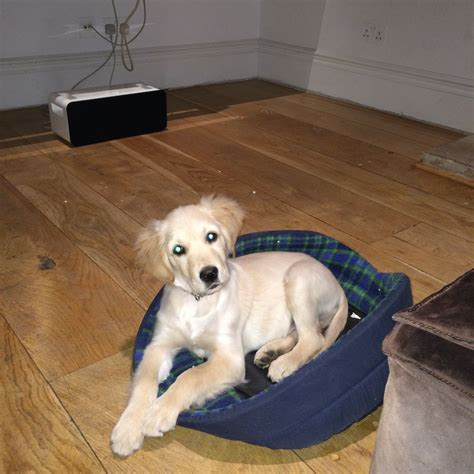 16 week golden retriever beautiful retriever 16 weeks west pets4homes