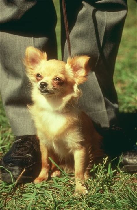 chihuahua pictures