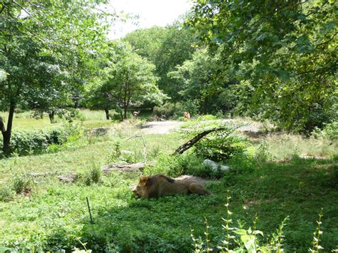 bronx zoo lion exhibit zoochat