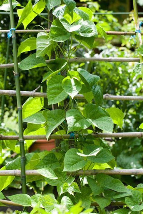 Gardening Green Beans Grow Green Beans Veggie Patch