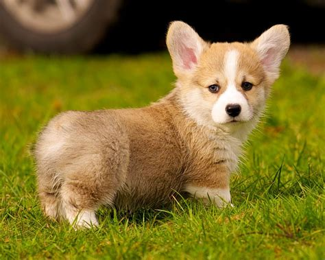 corgi puppy cutest puppy breed warning cuteness