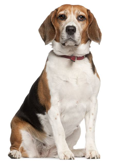best therapy dog breeds dog breeds 12 breeds that make the best therapy dogs