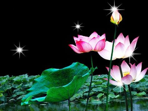 wallpaper lotus flower design lotus flower wallpaper nature wallpaper