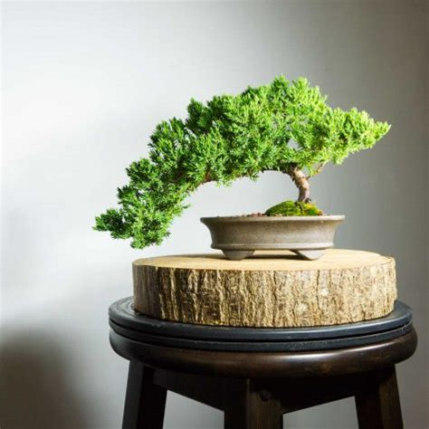 Bonsai Serisa 10759 Limited flowering bonsai tree b mame shohin serissa free