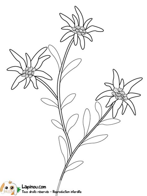edelweiss flower coloring page edleweiss flower free coloring pages