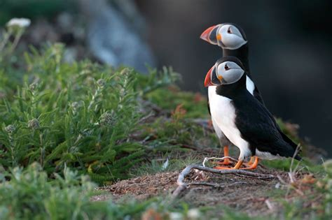 hinterland who s who atlantic puffin