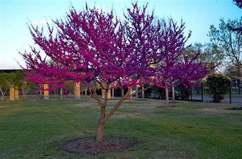 japanese redbud tree photos redbuds and oklahoma bud plant now torrans gardeninglee torrans gardening