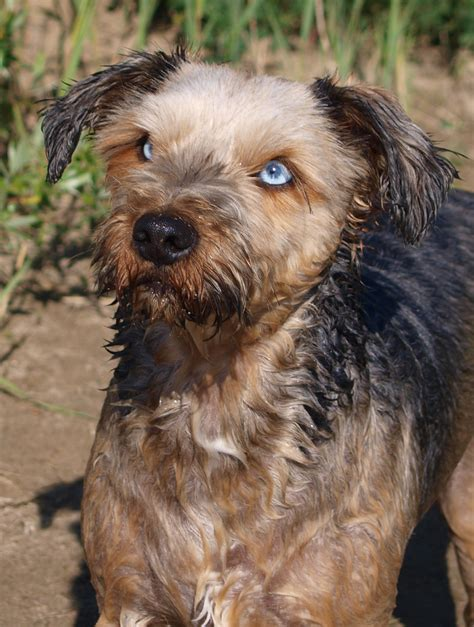 yorkie and husky mix terrier mix breeds picture