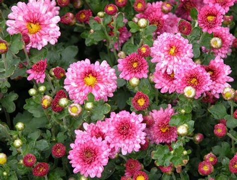 top 28 are mums perennials are mums perennials hgtv hoosier gardener mums can be