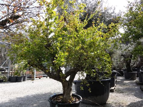 melograno pianta da giardino melograno azienda florovivaistica rusconi luigi