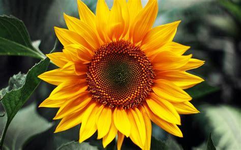 Bibit Bunga Matahari Kecil tips menanam bunga matahari akfar isfi 2014 remedial