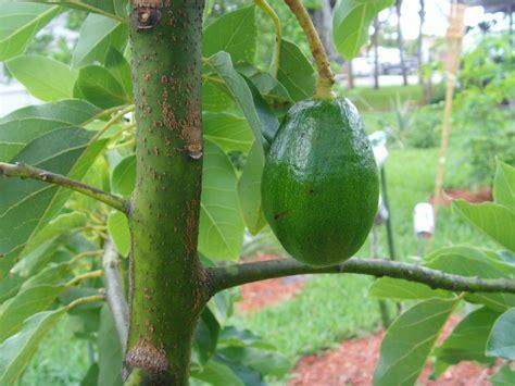 plant princess avocado tree  home depot