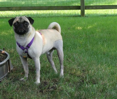 luxating patella in pugs puppy pictures the pug