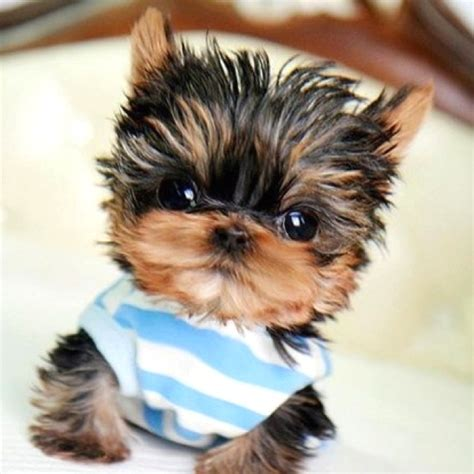 pictures baby yorkies baby yorkie