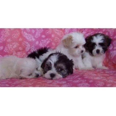 shih tzu rescue milwaukee shih tzu puppies for adoption in michigan