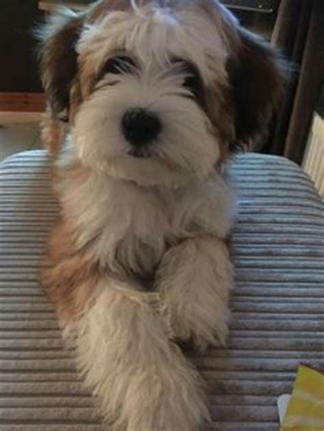 akcwheaton cut newest breed on my list tibetan terrier l animalia