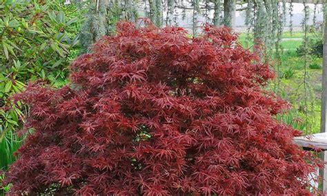 Lieferzeit Baldur Garten by 3 Japanische Ahorn Pflanzen Groupon Goods
