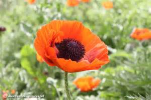 poppy picture flower pictures 1058