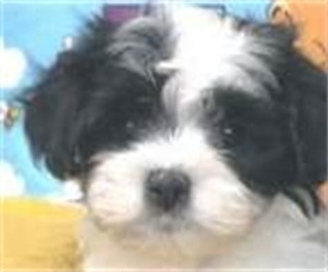 havanese puppies for sale vancouver elite havanese breeder has puppies for sale on