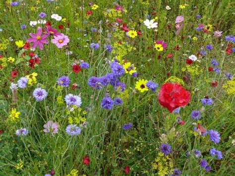 my flower garden create a flower meadow with flore seed mixes