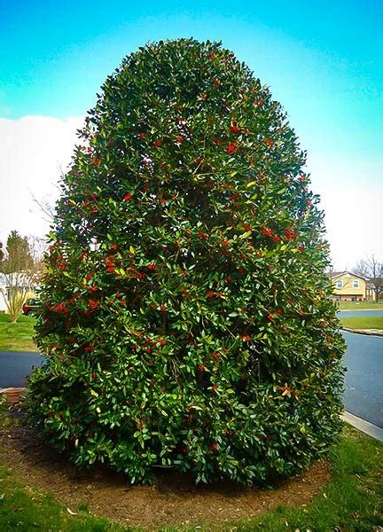 Buy Nellie Stevens Holly Online The Tree Center