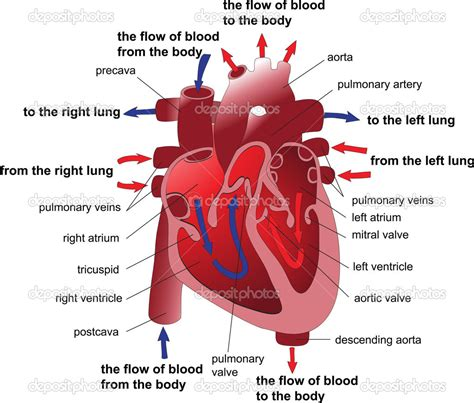 human heart cross section human heart cross section poster stock vector 169 maryna