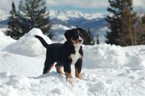 dogs in snow bernese mountain puppy in the snow wallpapers and images wallpapers pictures