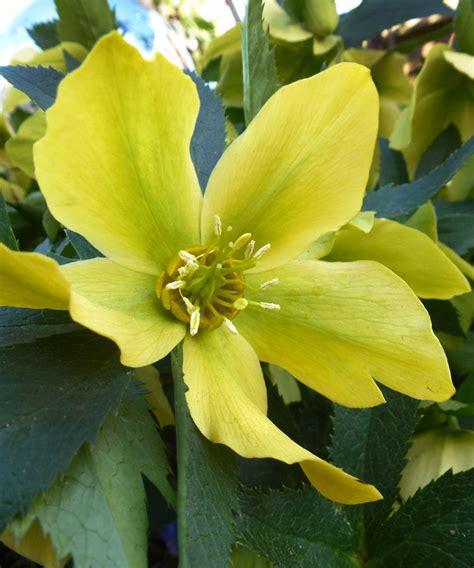 helleborus orientalis yellow lady buy online at annie