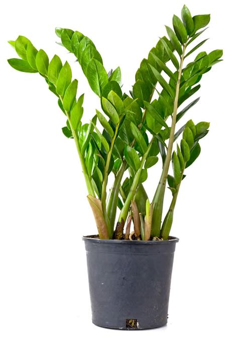 best indoor plants for no sunlight zamioculcas zamiifolia stuen tv