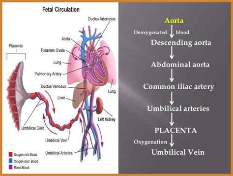 fetal circulation diagram fetal circulation diagram notary letter