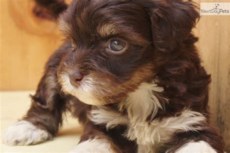 chocolate havanese puppies for sale havanese puppy for sale near san francisco bay area california b1d2fa23 1981