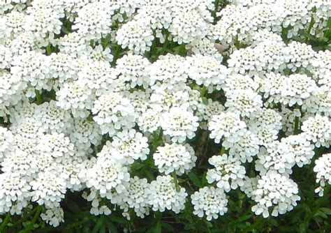 tiny white 20 white flower backgrounds wallpapers freecreatives
