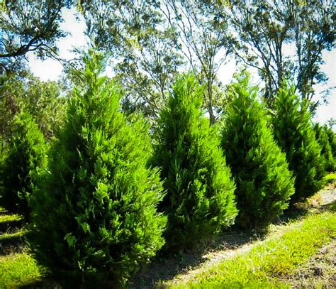 sales on trees leyland cypress trees for sale the tree center