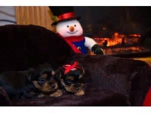yorkies for sale in mcallen terrier puppies for sale