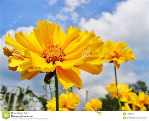 imagenes de rosas hermosas amarillas flores amarillas hermosas fotograf 237 a de archivo libre de