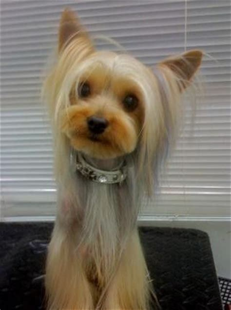 how to help yorkies mate 26 best images about doggie cuts on terrier yorkie and
