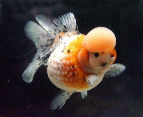 Anting Ikan Koki Goldfish jenis ikan koki saldiscus s