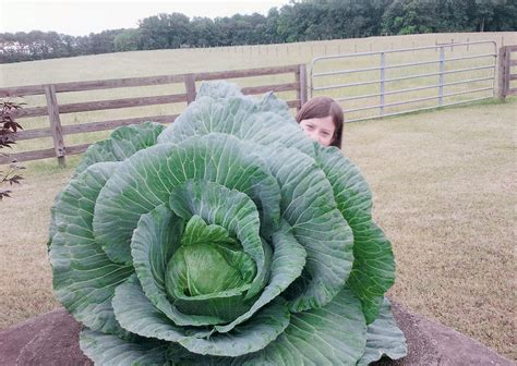 a little girl grew a 40 pound cabbage feeding 275 people how to grow a cabbage bonnie plants