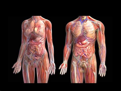 imagenes sorprendentes cuerpo humano imagenes ethel im 193 genes del cuerpo humano sus nombres sus