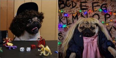 everything you need to about pugs pugs the things you need to see indie88