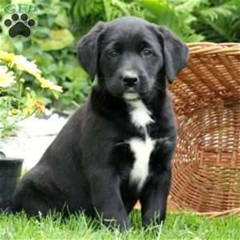 labernese puppies for sale labernese puppy labernese puppies for sale greenfield puppies