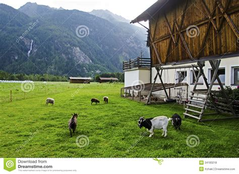 backyard goat farming goat and sheep in the farm royalty free stock photos image 34183218