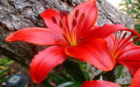 great red lily flower hd wallpaper  wallpaperscom