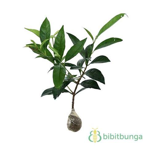 Harga Bibit Daun Salam tanaman daun salam