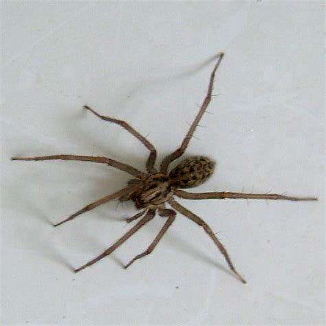 Spiders In House house spider
