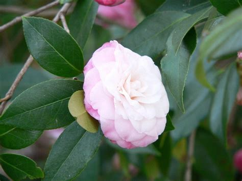camellia pruning how to prune camellias