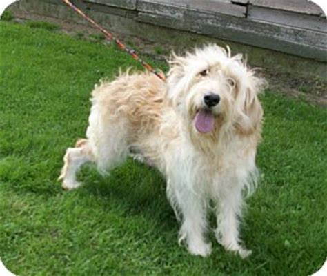 goldendoodle puppy for adoption in ohio gwyn adopted liberty center oh goldendoodle