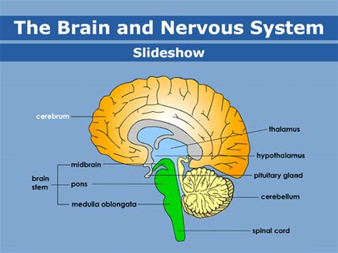 Nervous System And Sense Organs Skills Worksheet Answers worksheet on the brain and nervous system with answers